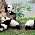 Cute Pandas in China