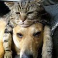 cat sleeping on dog