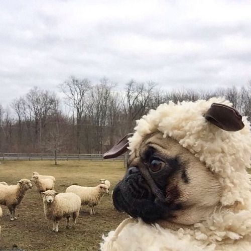 Dog tries to look a sheep
