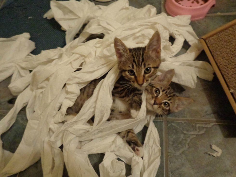 CAts play in tissue