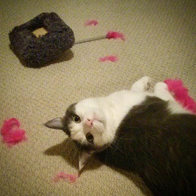 cat innocently destroyed scrub handle