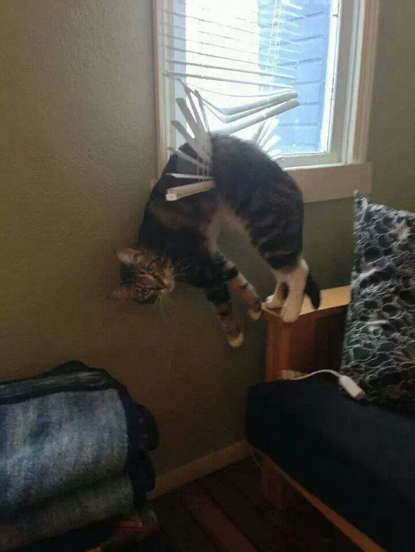 cat hang in window blinds