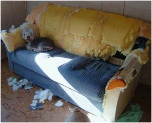dog ruined couch
