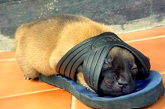 puppy inside a slipper