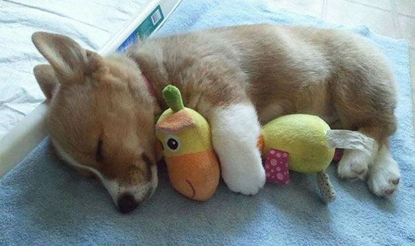 puppy sleeping with toy