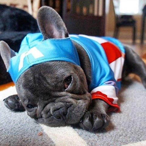 sleepy captain america dog