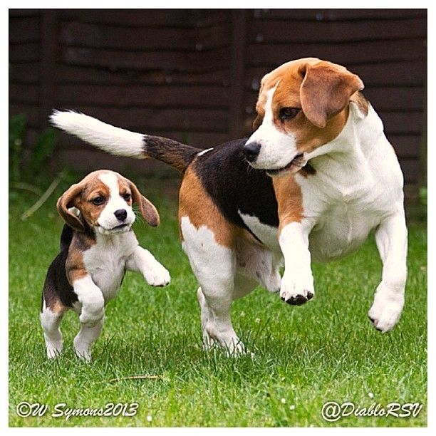 Simple Tiny Beagle Adorable Dog - Beagle  Image_23196  .jpg