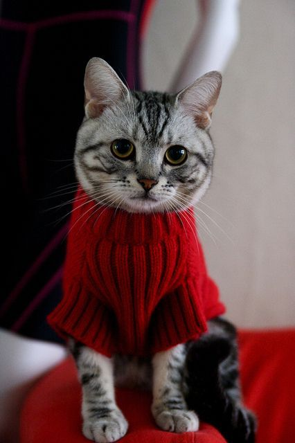 cat in sweater