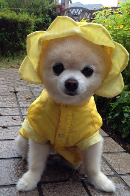 dog in yellow outfit