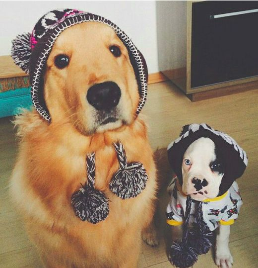 dogs in pompom hats