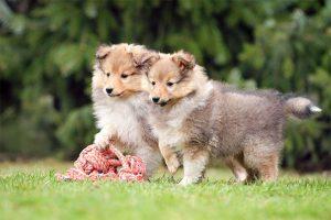 sheetland sheepdog