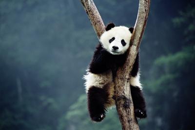 Cute Hanging Panda