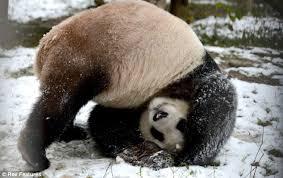 Panda Somersault