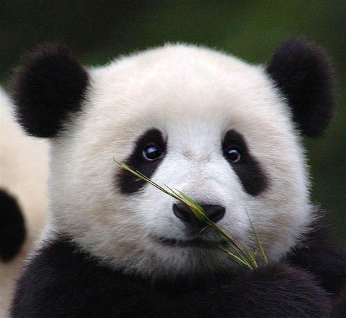 Eye panda