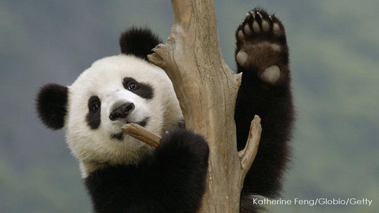 A Giant Panda cub climbs a tree