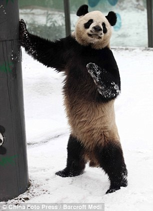 Pandas Standing