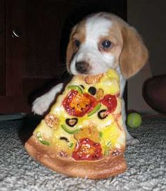 Puppy eating pizza