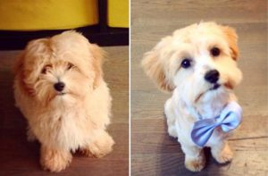 dog with new haircut and bowtie