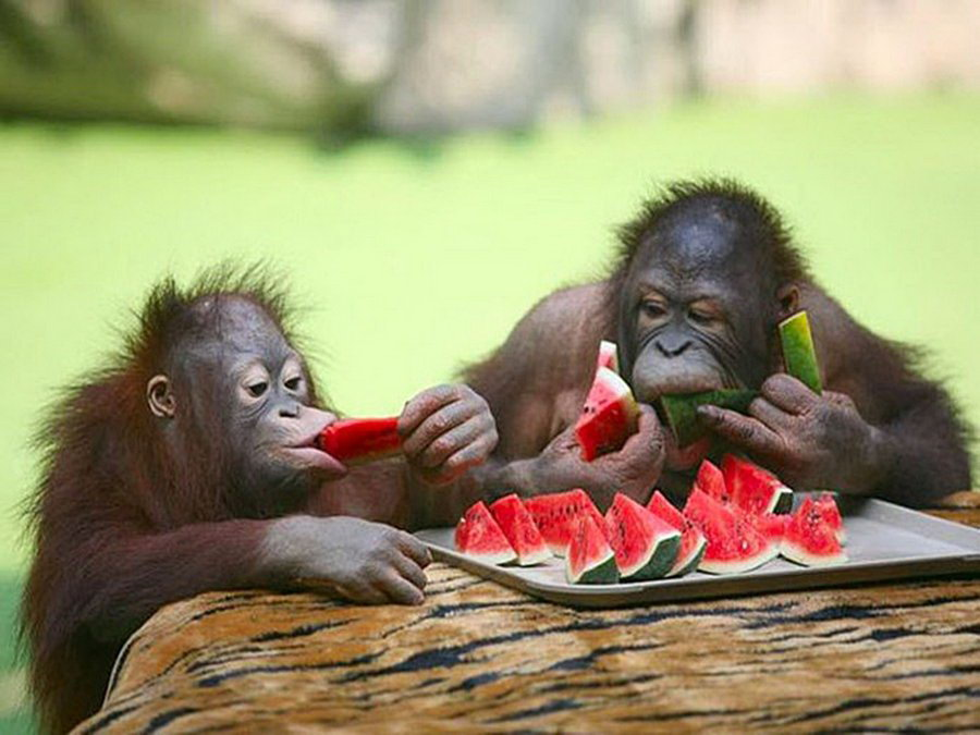 monkeys munching watermelon