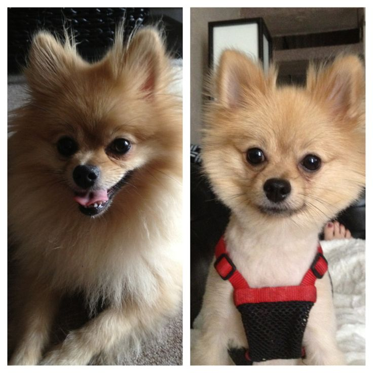 Haircuts For Pomeranians: These Pets Look Adorable In Their New Haircuts