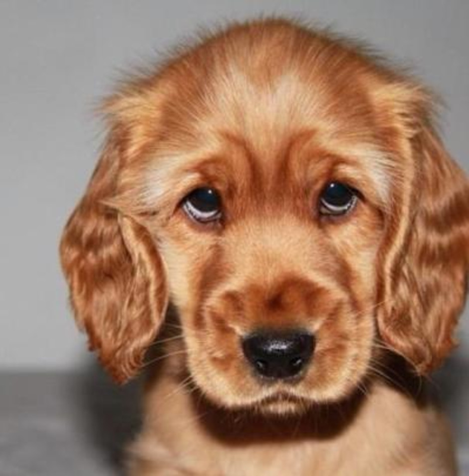 Brown puppy eyes