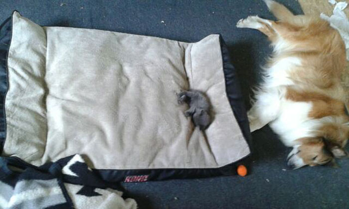 10 funny photos of cats stealing dog beds cuteness overflow for Big fluffy dog bed