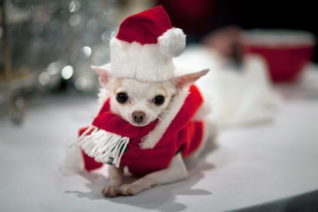 chihuahua-christmas