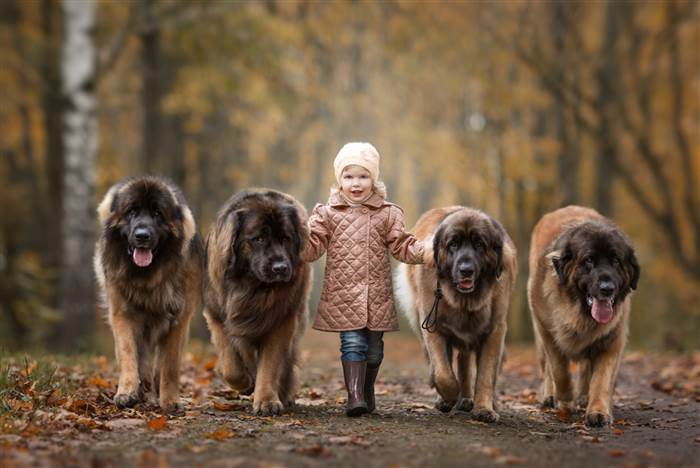 Lisa and four Leonbergers