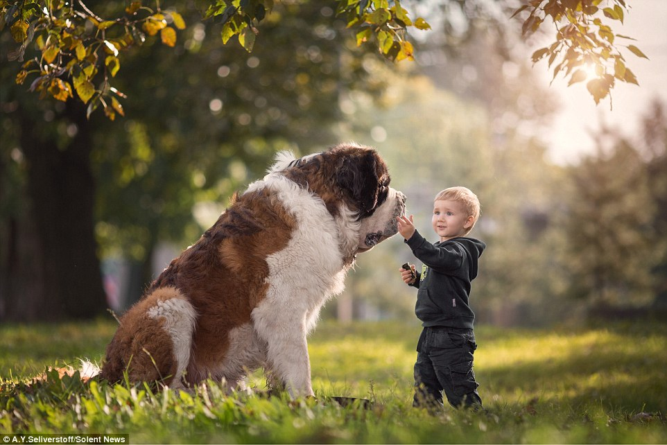 Matthew, a toddler turning two pats the face of his long-haired St. Bernard named Misha who is 92 cms tall. Here they share a special moment.