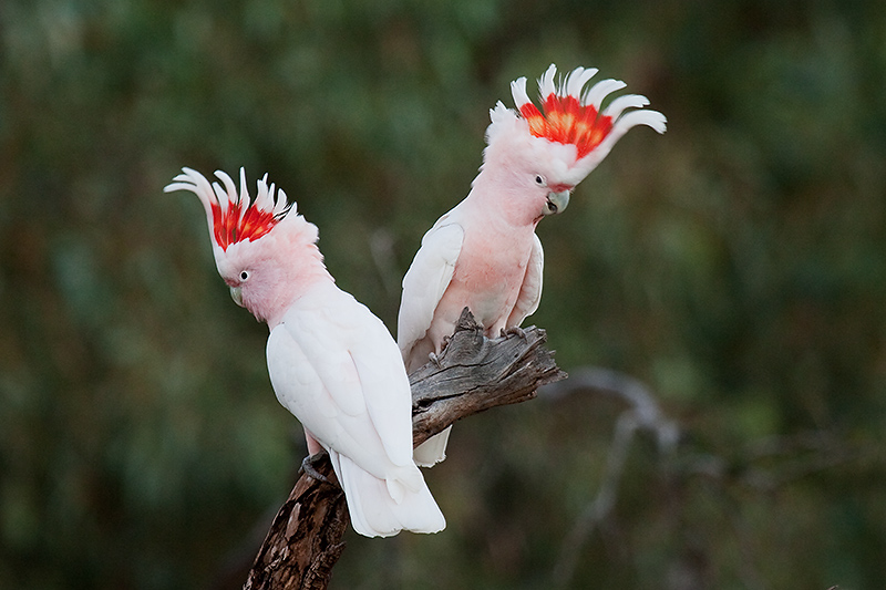 Major Mitchel Cockatoos
