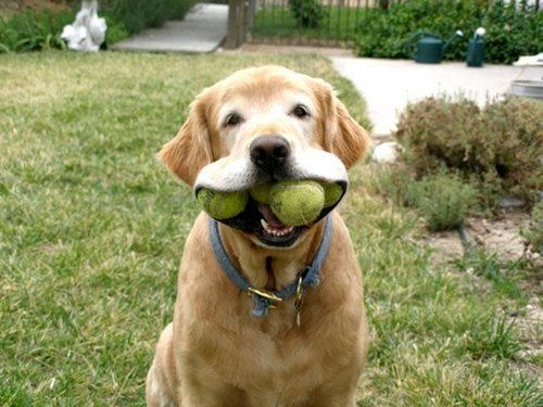 Dog fetching balls