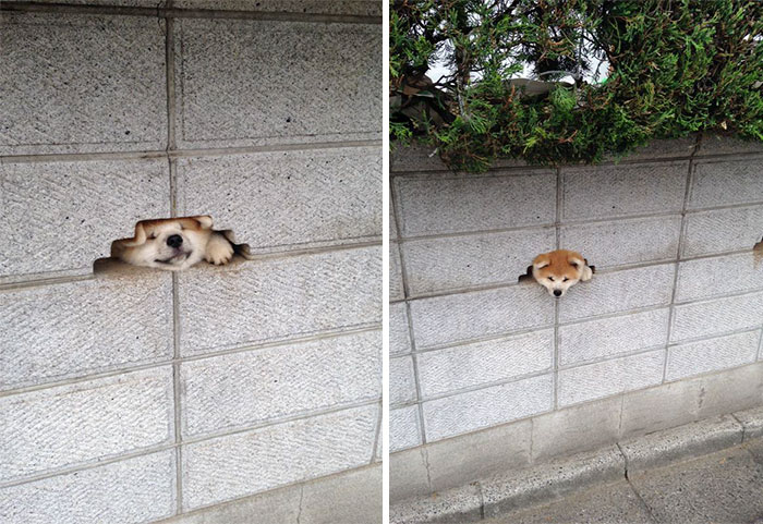 Dog perseveres to have his head out of the fence