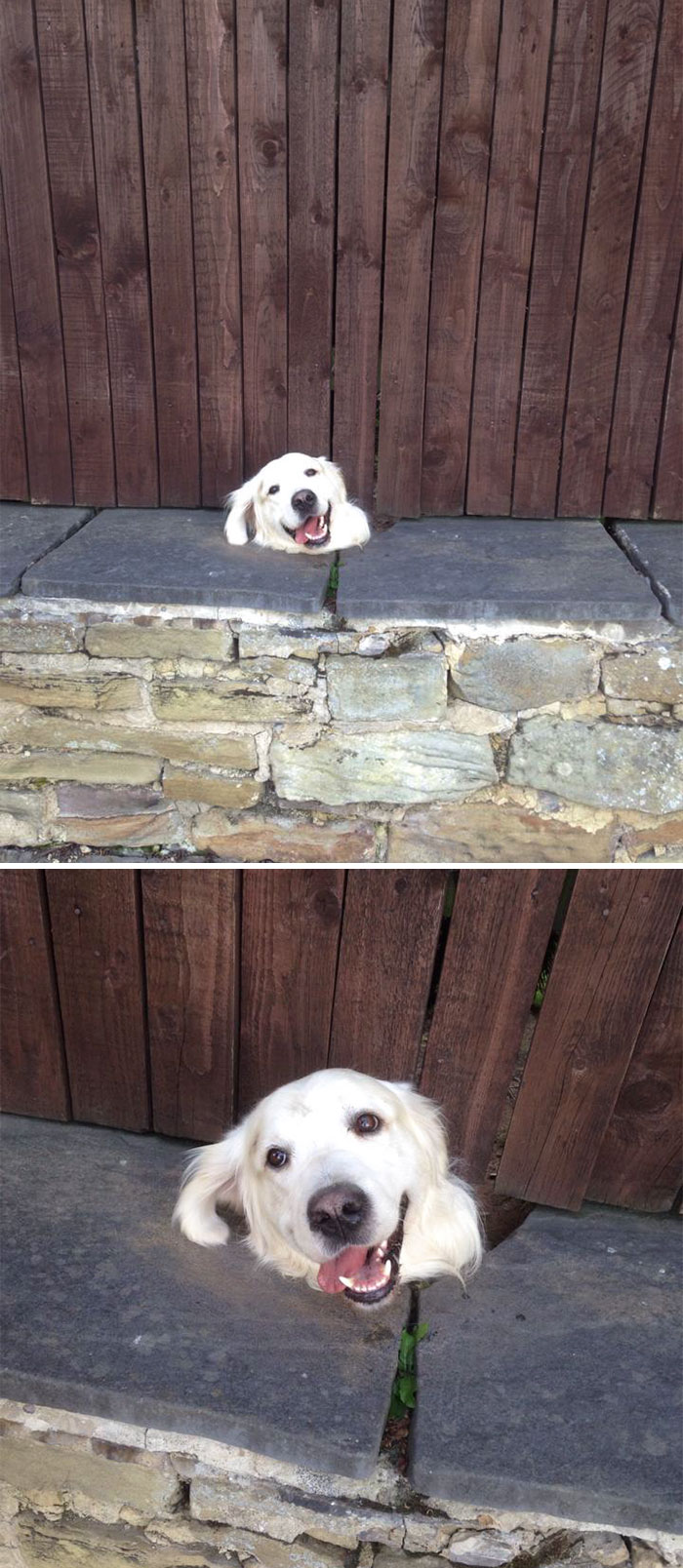 Funny Dogs Sticks His Head at the back of the fence