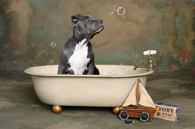 Pit Bull grooming