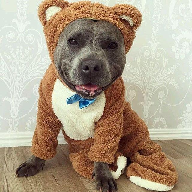 Pit bull costume