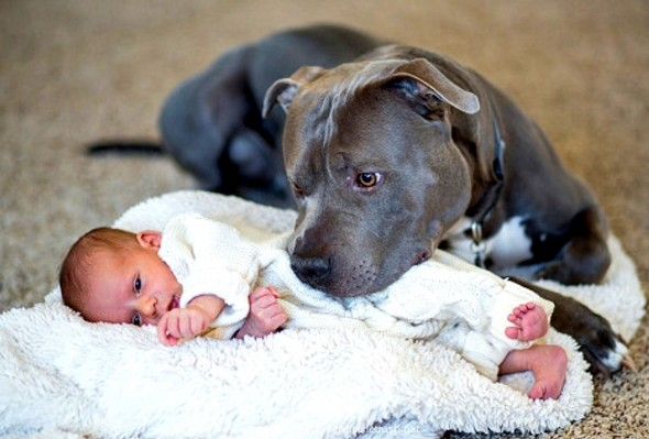 Pit bull protecting a baby