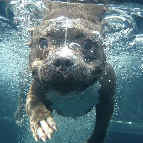 Swimming Pit Bull