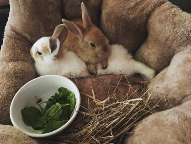 Bunnies cuddling