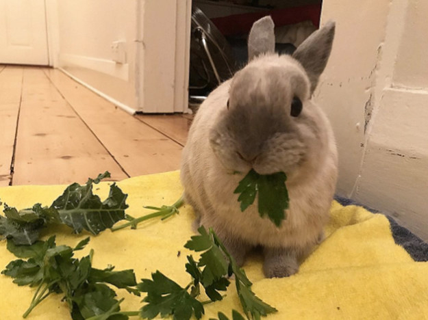 Bunny eating vegies