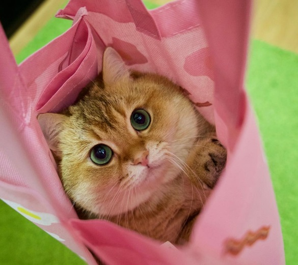 Hosico in a shopping bag