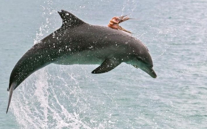 Octopus on a dolphin