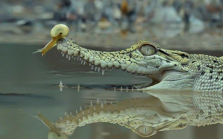 Snail on a crocodile