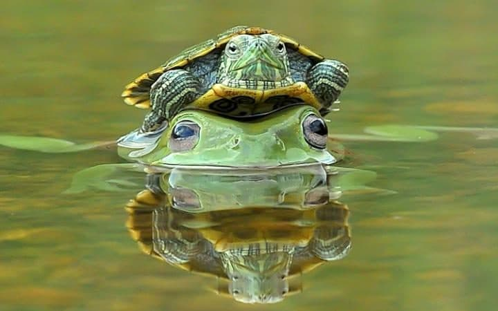 Terrapin on a frog