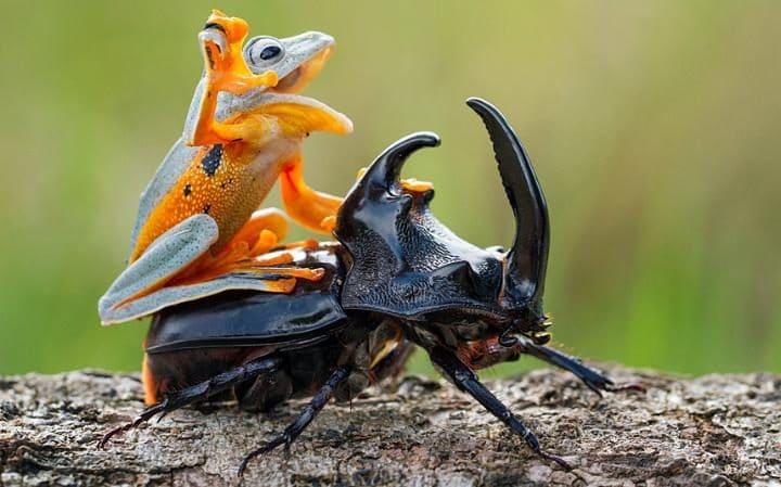 frog on a beetle