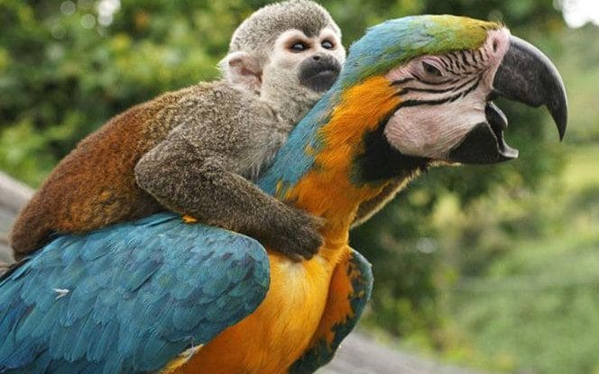 monkey on a macaw