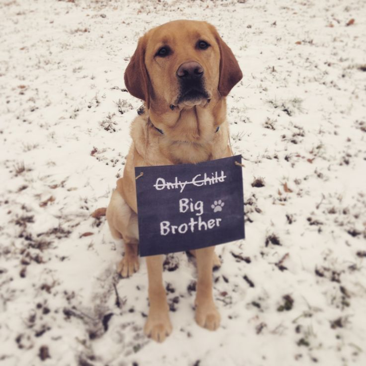 Adorable Photos of Dogs Joining in Pregnancy Announcements ...