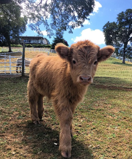 Buckley The Highland Cow