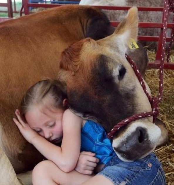 Affectionate Cow