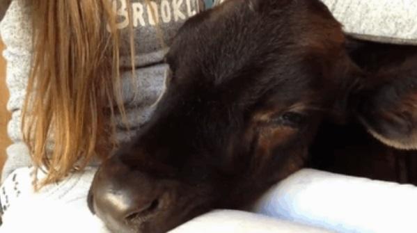 Calf falls asleep on lap