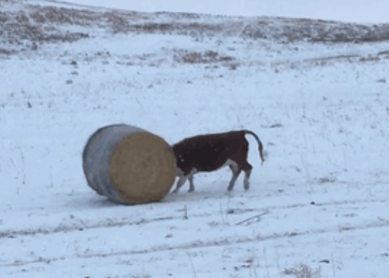 Cow plays with bale of hay